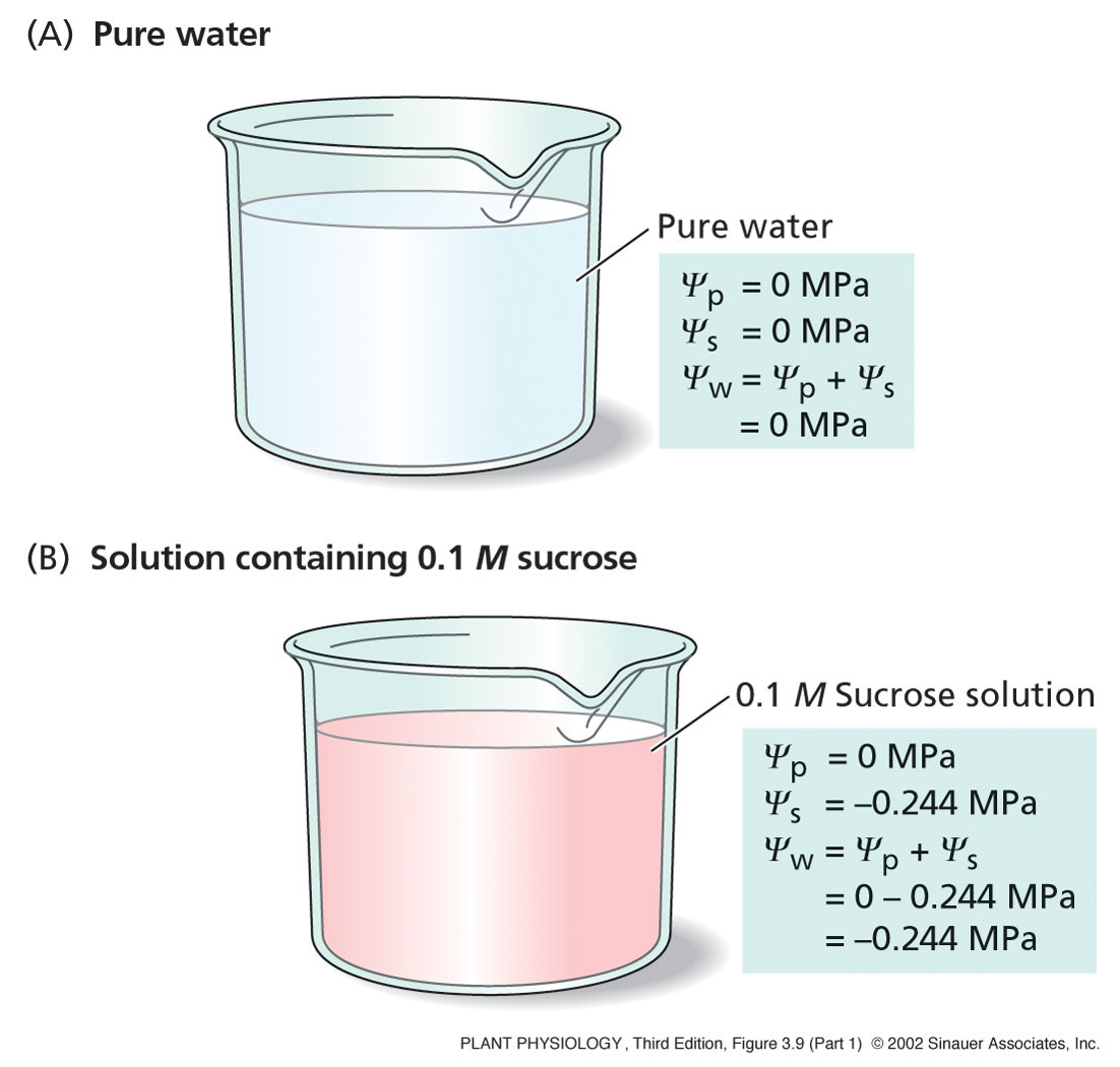 water potential Calculating water potential ψ = ψp + ψs the combined effects of these two  factors: solute concentration pressure are incorporated into a single  measurement.